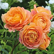 Lady of Shallott English Climbing Rose 6L
