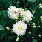 Snow Goose English Rambling Rose 6L