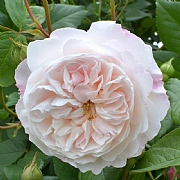 The Albrighton Rambler English Rambling Rose 6L
