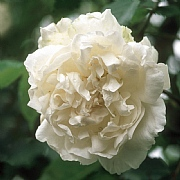 Mme Alfred Carriere Climbing/Rambling Rose 6L