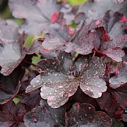 Heuchera Midnight Rose 2L