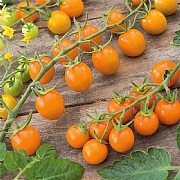 Tomato Sungold F1 Seeds