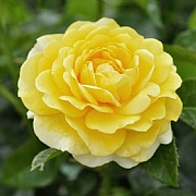 Happy Golden Wedding Floribunda Rose 3L