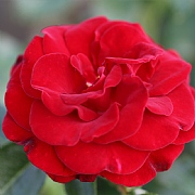 Ruby Romance Patio Rose 3L