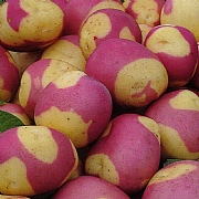 Pink Gypsy Main Crop Seed Potatoes 2kg