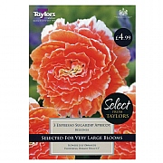 Begonia Expresso Sugardip Apricot - 3 Bulbs