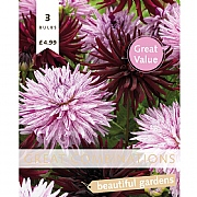 Dahlia Cactus Black & Pink Great Combinations Pack - 3 Bulbs