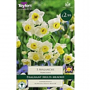 Narcissi Avalanche (5 Bulbs)