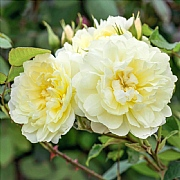 Imogen Shrub Rose 6L