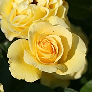 Anniversary Wishes Floribunda Rose 3L