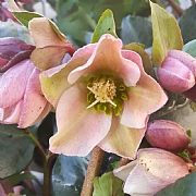 Helleborus Angel Glow 3L Pot
