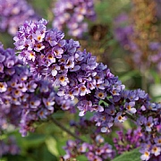Buddleja 'Blue Chip Junior'