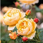 Roald Dahl Shrub Rose 6L