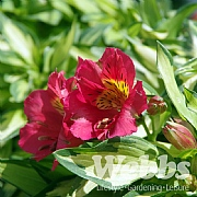 Alstroemeria 'Little Miss Zoe'