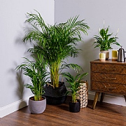 Areca Palm (Dypsis Lutescens) - Various Sizes