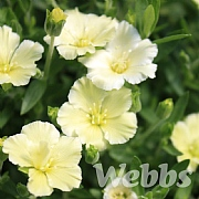 Arenaria 'Lemon Ice'