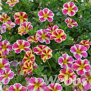 Calibrachoa 'Superbells Holy Cow'