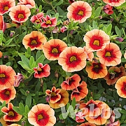 Calibrachoa 'Neo Orange Red Punch'