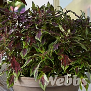 Coleus 'Flamethrower Chili Pepper'