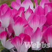 Cyclamen 'Indiaka Rose'