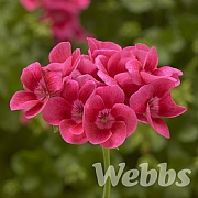 Geranium Calliope 'Pretty Little Pink Splash'