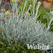 Helichrysum 'White Wonder'