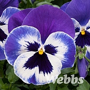 Pansy 'Matrix Marina'