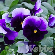 Pansy' Matrix Beaconsfield'