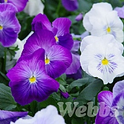 Pansy 'Matrix Lavender Shades'