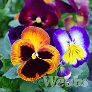 Pansy 'Matrix Northern Lights'