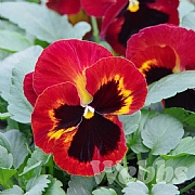 Pansy 'Matrix Solar Fire'