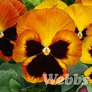 Pansy 'Matrix Sunset'