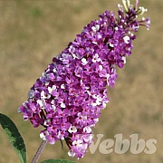 Buddleia 'Berries & Cream'