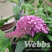 Buddleja 'Rocket Star Flamingo'