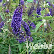 Buddleia davidii 'Empire Blue'