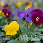 Viola 'Deltini Caribbean Dream Mix'