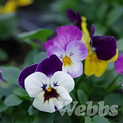 Viola 'Deltini Heavens Gate Trio'
