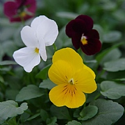 Viola 'Deltini Sunrise Deluxe Trio'