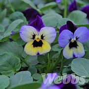 Viola 'Endurio Blue Yellow Wing'