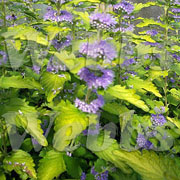 Caryopteris x clandonensis Hint of Gold