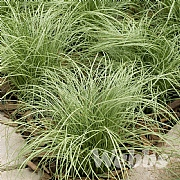Carex 'Amazon Mist'