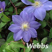 Clematis 'Mrs Petraux'