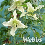 Clematis cirrhosa 'Ourika Valley'