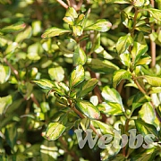 Coprosma 'Lemon N Lime'