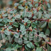 Cotoneaster procumbens Queen of Carpets