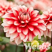 Dahlia 'Larry's Love'