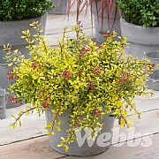 Escallonia 'Golden Carpet'