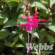 Fuchsia 'Little Cracker'