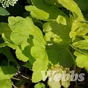 Heucherella 'Happy Hour Lime'