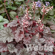 Heuchera 'Little Cutie Frost'